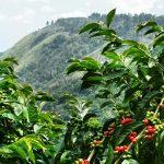 Kawowiec – magiczna roślina